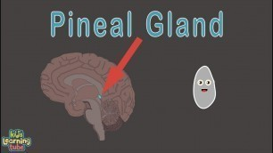 'The Pineal Gland and Endocrine System'